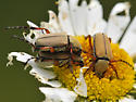 Unknown Beetle - Macrodactylus - male - female