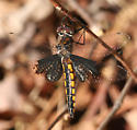 Common or Mantled Baskettail? - Epitheca semiaquea - female