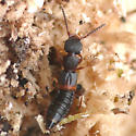Rove beetle - Sunius