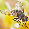 tachinid fly - Clausicella