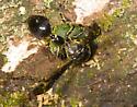 Wasp plugs nest hole - Zethus spinipes - female