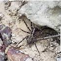 Spider seen while out hiking - Gladicosa pulchra
