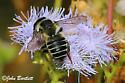 Megachile parallela ? - Megachile
