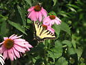 Which tiger swallowtail? - Papilio glaucus - male