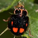 Lady Beetle - Calvia quatuordecimguttata