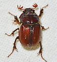 Eucanthus impressus  - Eucanthus impressus
