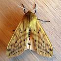 Isabella Tiger Moth (Pyrrharctia isabella)  - Pyrrharctia isabella