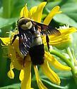 Bombus Fraternus, Southern Plains Bumblebee? - Bombus fraternus
