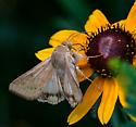 Moth on Black-eyed Susan - Helicoverpa zea