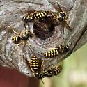 Yellowjackets - Dolichovespula arenaria
