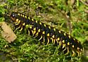 Millipede - Apheloria montana