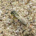 Bembecinus series 3 - Bembecinus quinquespinosus - male