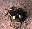 Furry scarab, posterior view - Trichiotinus piger