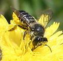 Bee [Megachile] ID Request - Megachile mendica - female