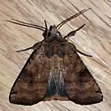 Smith's Dart (Xestia smithii)  - Xestia smithii