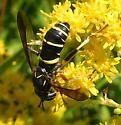 Unidentified Fly II - Spilomyia sayi