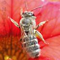 Grey Sweat Bee - Lasioglossum sisymbrii - female