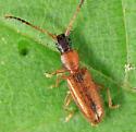 Silvanid - Telephanus atricapillus