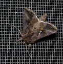 owlet moth with white markings - Autographa precationis