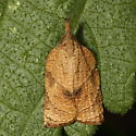 Leafroller - Platynota rostrana