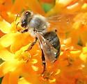 Bee on Asclepias tuberosa - Apis mellifera