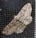 MothBrown_Shaded_Gray_Iridopsis_defectaria09112016_CV_ - Iridopsis defectaria - male
