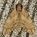 Catalpa Sphinx - Ceratomia catalpae