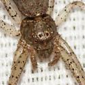 Crab Spider - Tmarus - female