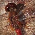 Late Meadowhawk - Sympetrum vicinum