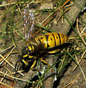 Yellowjacket queen - Vespula maculifrons - female
