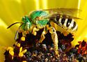 Green Metallic Bee - Agapostemon melliventris - female