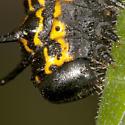 Orange-tipped oakworm moth - Anisota senatoria - Anisota senatoria