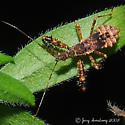 Assassin Bug Nymph - Sinea