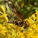 Paper Wasp? What kind? - Polistes fuscatus