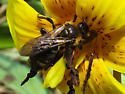 Bee - Colletes inaequalis