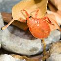 Orange?! Giant Water Bug Nymph