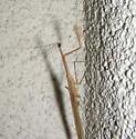 Small Brown Praying Mantis - Bactromantis mexicana - male