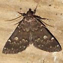 Glossy Black Idia Moth - Hodges #8334  - Idia lubricalis