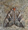Yellow-banded Underwing - Catocala cerogama