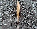 Flying bug - Triaenodes