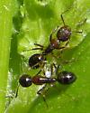 Carpenter Ant - Camponotus subbarbatus