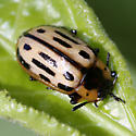 Chrysomelidae - Chrysomela confluens