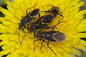 Eastern Boxelder Bugs - Boisea trivittata - male - female