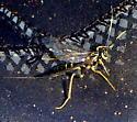 Ichneumon Wasp - female