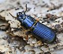 Bess Beetle (?) - Odontotaenius disjunctus