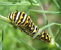 swallowtail--but which - Papilio polyxenes