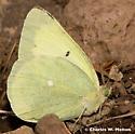 Queen Alexandra's Sulphur - Colias alexandra - male