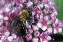 Bumble Bee - Andrena milwaukeensis - female