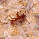 Large crater-making ant - Trachymyrmex septentrionalis