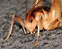 Camel Cricket? - female
